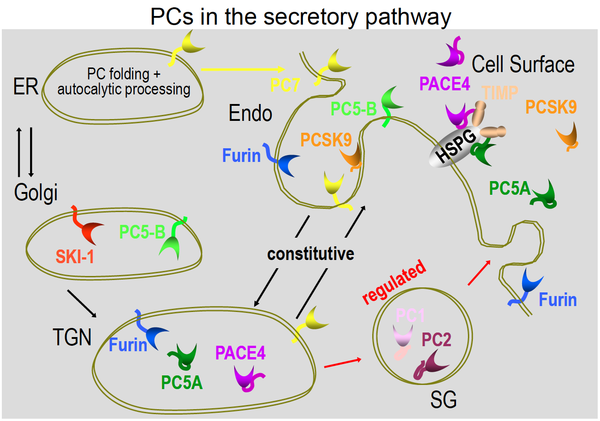 Figure 3_ Schematic representation of trafficking of PCs within the secretory pathway
