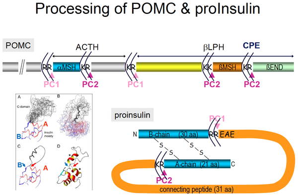Figure 5_ Processing of POMC and proInsulin